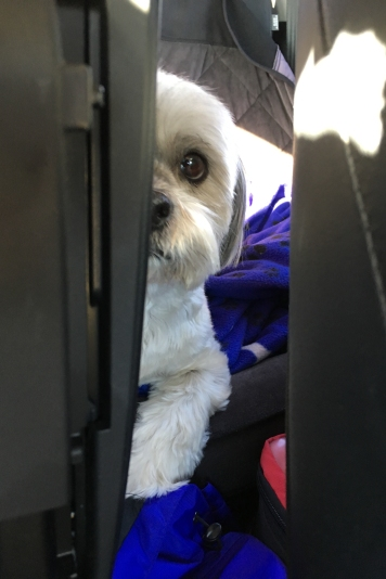 005_Buster staring from back seat_December 16, 2017